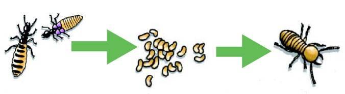 ciclo-de-vida-dos-cupins