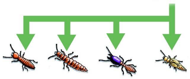 ciclo-vida-cupins